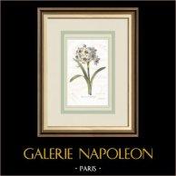 Flores de jardín - Narciso de manojo