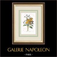 Flores de jardín - Alheli - Cinoglosa