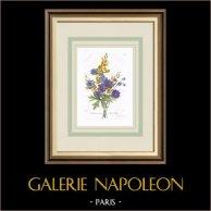 Garden Flowers - Larkspur - Genista hispanica