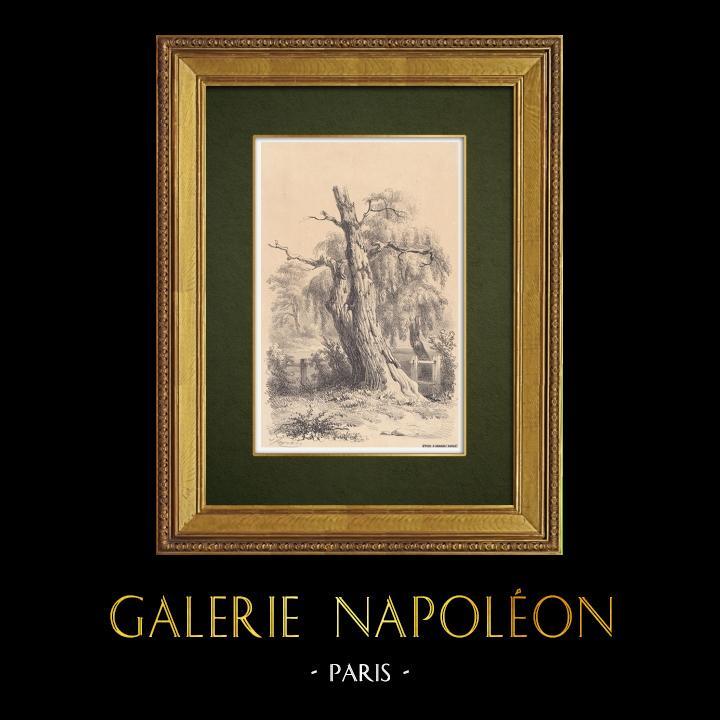 Gravures Anciennes & Dessins | Paysage de Lorraine - Etude d'arbres - Un saule mort (France) | Lithographie | 1856