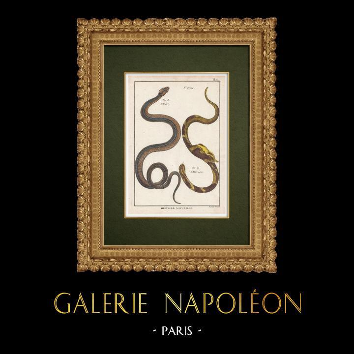 Gravures Anciennes & Dessins   Serpents - Ibibe - Hébraïque    Gravure sur cuivre   1789