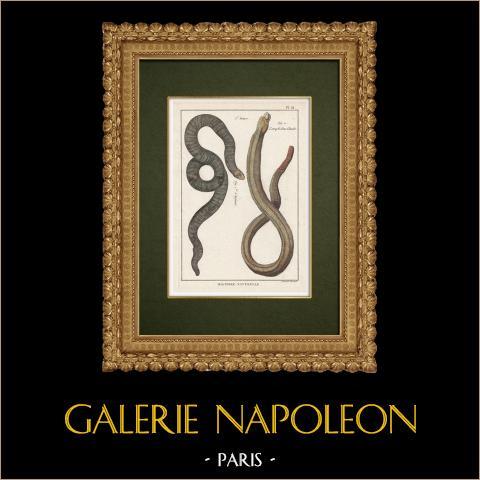 Serpents - Enfumé - Amphisbene Blanche | Gravure sur cuivre originale. Benard direxit. Aquarellée à la main et réhaussée à la gomme arabique. 1789