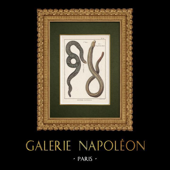 Gravures Anciennes & Dessins   Serpents - Enfumé - Amphisbene Blanche   Gravure sur cuivre   1789