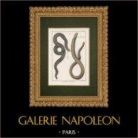 Serpentes - Enfumé - Amphisbene Blanche