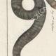 DÉTAILS 02   Serpents - Enfumé - Amphisbene Blanche