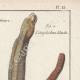 DÉTAILS 03   Serpents - Enfumé - Amphisbene Blanche