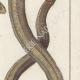 DÉTAILS 04   Serpents - Enfumé - Amphisbene Blanche