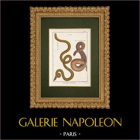 Serpents - Rouleau - Acrochorde de Java | Gravure sur cuivre originale. Benard direxit. Aquarellée à la main et réhaussée à la gomme arabique. 1789