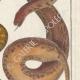 DÉTAILS 04   Serpents - Rouleau - Acrochorde de Java