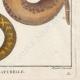 DÉTAILS 06   Serpents - Rouleau - Acrochorde de Java