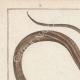 DÉTAILS 01 | Serpents - Rayé - Serpent à Lunettes