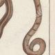 DÉTAILS 04 | Serpents - Rayé - Serpent à Lunettes
