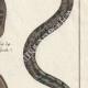 DÉTAILS 04   Serpents - Malpole - Sibon