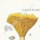 DETAILS 01 | Mycology - Mushroom - Cantharellus Pl.51