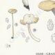 DETAILS 03 | Mycology - Mushroom - Cantharellus Pl.51