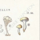 DETAILS 04 | Mycology - Mushroom - Cantharellus Pl.51