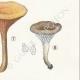 DETAILS 05 | Mycology - Mushroom - Cantharellus Pl.51