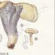 DETAILS 06 | Mycology - Mushroom - Cantharellus Pl.51