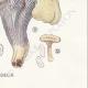DETAILS 08 | Mycology - Mushroom - Cantharellus Pl.51
