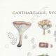 DETAILS 01 | Mycology - Mushroom - Cantharellus - Nyctalis - Arrhenia Pl.52