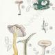 DETAILS 02 | Mycology - Mushroom - Cantharellus - Nyctalis - Arrhenia Pl.52