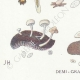 DETAILS 03 | Mycology - Mushroom - Cantharellus - Nyctalis - Arrhenia Pl.52