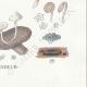 DETAILS 08 | Mycology - Mushroom - Cantharellus - Nyctalis - Arrhenia Pl.52