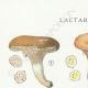 DÉTAILS 01 | Mycologie - Champignon - Lactarius - Aurantiacus Pl.54