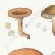 DÉTAILS 02 | Mycologie - Champignon - Lactarius - Aurantiacus Pl.54