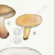DÉTAILS 05 | Mycologie - Champignon - Lactarius - Aurantiacus Pl.54