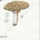 DÉTAILS 06 | Mycologie - Champignon - Lactarius - Pallidus Pers Pl.56