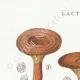 DÉTAILS 01 | Mycologie - Champignon - Lactarius - Quietus Pl.57