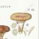 DÉTAILS 04 | Mycologie - Champignon - Lactarius - Quietus Pl.57
