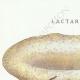 DETAILS 01 | Mycology - Mushroom - Lactarius - Vellereus Pl.59