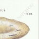 DETAILS 04 | Mycology - Mushroom - Lactarius - Vellereus Pl.59