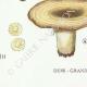 DETAILS 07 | Mycology - Mushroom - Lactarius - Vellereus Pl.59