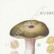 DETAILS 01 | Mycology - Mushroom - Russula - Olivacea Pl.60