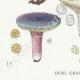 DETAILS 03 | Mycology - Mushroom - Russula - Olivacea Pl.60