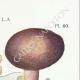 DETAILS 04 | Mycology - Mushroom - Russula - Olivacea Pl.60