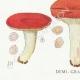 DÉTAILS 03   Mycologie - Champignon - Pussula - Cyanoxantha Pl.61