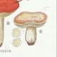 DÉTAILS 06   Mycologie - Champignon - Pussula - Cyanoxantha Pl.61