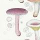 DETAILS 02 | Mycology - Mushroom - Russula - Emetica Pl.62