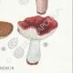 DETAILS 06 | Mycology - Mushroom - Russula - Emetica Pl.62