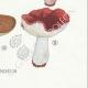 DETAILS 08 | Mycology - Mushroom - Russula - Emetica Pl.62