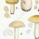 DETAILS 02   Mycology - Mushroom - Russula - Foetens Pers Pl.63