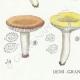 DETAILS 03   Mycology - Mushroom - Russula - Foetens Pers Pl.63