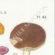 DETAILS 04   Mycology - Mushroom - Russula - Foetens Pers Pl.63
