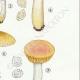 DETAILS 05   Mycology - Mushroom - Russula - Foetens Pers Pl.63