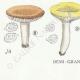 DETAILS 07   Mycology - Mushroom - Russula - Foetens Pers Pl.63