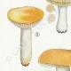 DÉTAILS 02   Mycologie - Champignon - Russula - Nitida Pers Pl.64